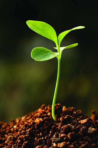 Budding seed
